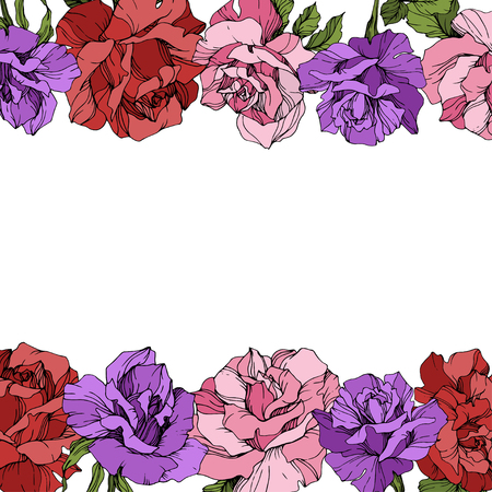 Vector Rose floral border on white background. Floral botanical flower. Red, purple and pink engraved ink art. Illustration