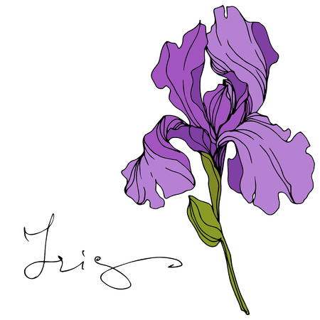 Vector Purple iris floral botanical flower. Wild spring leaf wildflower isolated. Engraved ink art. Isolated iris illustration element. Vetores