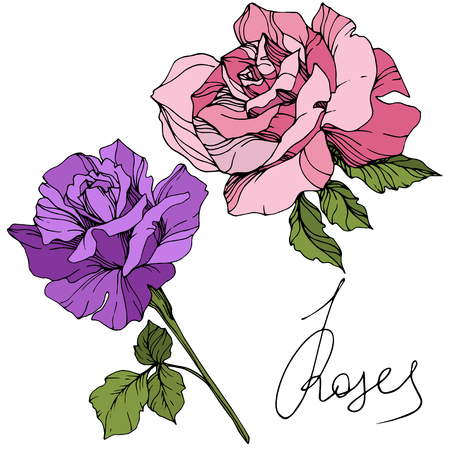 Vector Pink and purple rose. Floral botanical flower. Green leaf. Isolated rose illustration element. Black and white engraved ink art.