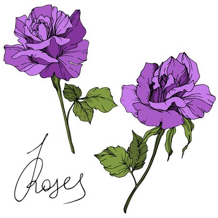 Vector Purple rose. Floral botanical flower. Green leaf. Isolated rose illustration element. Black and white engraved ink art. Stockfoto - 125017207