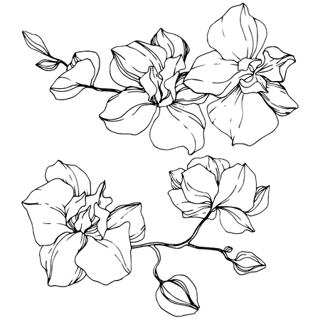 Vector Orchid. Floral botanical flower. Black and white engraved ink art. Isolated orchid illustration element on white background.