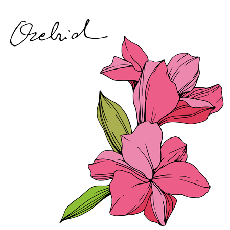 Vector Pink Orchid. Floral botanical flower. Engraved ink art. Isolated orchid illustration element on white background. Archivio Fotografico - 125017357