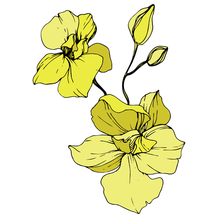 Vector Yellow Orchid. Floral botanical flower. Engraved ink art. Isolated orchid illustration element on white background. Reklamní fotografie - 125017365