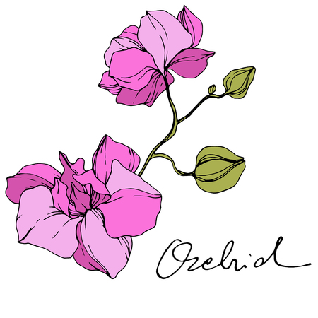 Vector Pink Orchid. Floral botanical flower. Engraved ink art. Isolated orchid illustration element on white background. Illustration