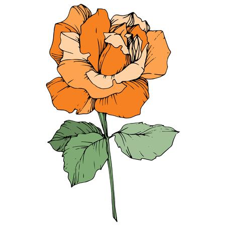 Vector Orange rose. Floral botanical flower. Green leaf. Isolated rose illustration element. Black and white engraved ink art.