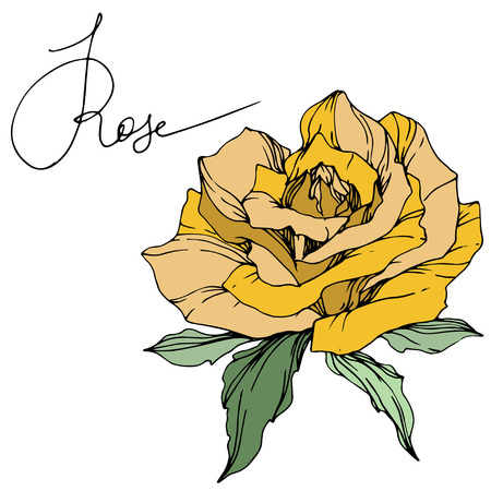 Vector Yellow rose. Floral botanical flower. Green leaf. Isolated rose illustration element. Black and white engraved ink art.