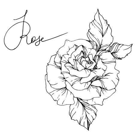 Vector Rose. Floral botanical flower. Wild spring leaf wildflower isolated. Black and white engraved ink art. Isolated rosa illustration element. Ilustração