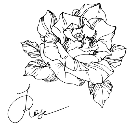 Vector Rose. Floral botanical flower. Wild spring leaf wildflower isolated. Black and white engraved ink art. Isolated rosa illustration element.  イラスト・ベクター素材
