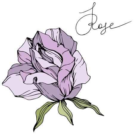 Vector Purple rose. Floral botanical flower. Green leaf. Isolated rose illustration element. Black and white engraved ink art. Illustration