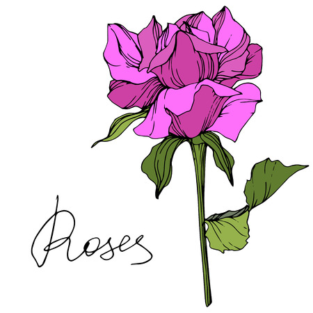 Vector Purple rose. Floral botanical flower. Green leaf. Isolated rose illustration element. Black and white engraved ink art. Stock Illustratie