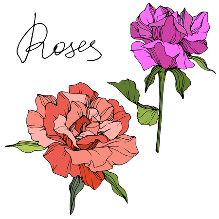 Vector Purple and coral rose. Floral botanical flowers. Green leaf. Isolated rose illustration element. Black and white engraved ink art.