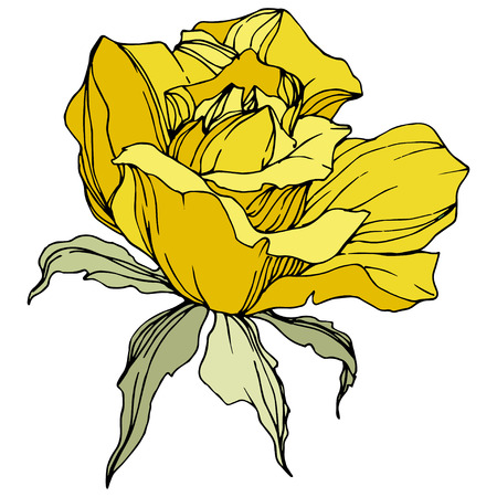 Vector Yellow rose. Floral botanical flower. Green leaf. Isolated rose illustration element. Black and white engraved ink art.