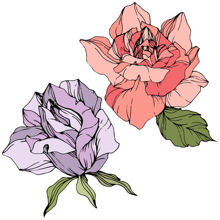 Vector Coral and purple Rose. Floral botanical flower. Wild spring leaf isolated. Watercolor background illustration set. Watercolour drawing fashion aquarelle. Isolated rosa illustration element.