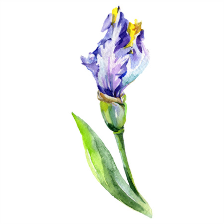 Purple yellow iris. Floral botanical flower. Wild spring leaf wildflower isolated. Watercolor background illustration set. Watercolour drawing fashion aquarelle isolated. Imagens