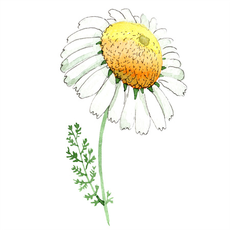 Chamomile floral botanical flower. Wild spring leaf wildflower isolated. Watercolor background illustration set. Watercolour drawing fashion aquarelle isolated. Isolated chamomile illustration element.