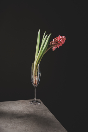 pink hyacinth flower in champagne glass on stone table isolated on black Reklamní fotografie