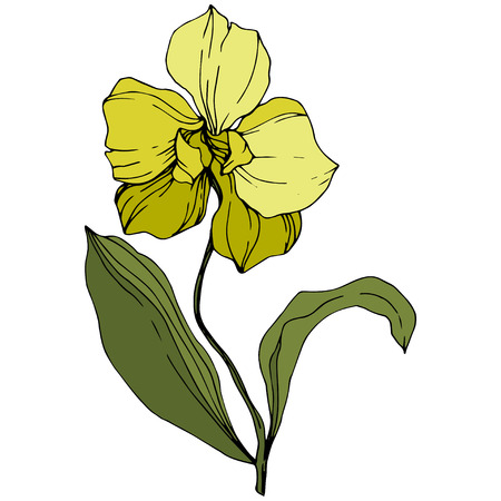 Vector Yellow Orcid floral botanical flower. Wild spring leaf wildflower isolated. Engraved ink art. Isolated orchid illustration element.