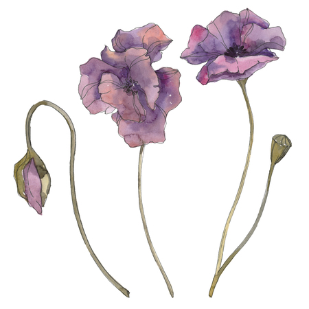 Purple poppy floral botanical flower. Wild spring leaf isolated. Watercolor background illustration set. Watercolour drawing fashion aquarelle isolated. Isolated poppies illustration element.