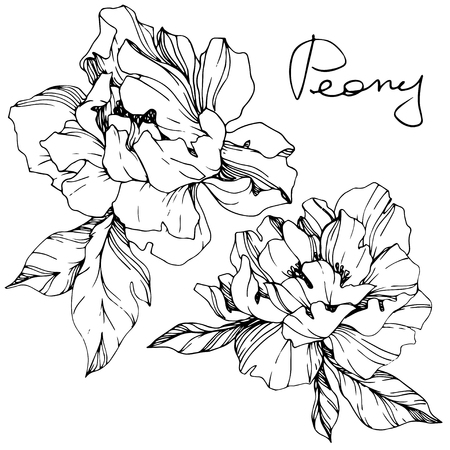 Vector Peony floral botanical flower. Wild spring leaf wildflower isolated. Black and white engraved ink art. Isolated peony illustration element. Zdjęcie Seryjne