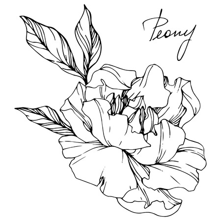 Vector Peony floral botanical flower. Wild spring leaf wildflower isolated. Black and white engraved ink art. Isolated peony illustration element. Stockfoto
