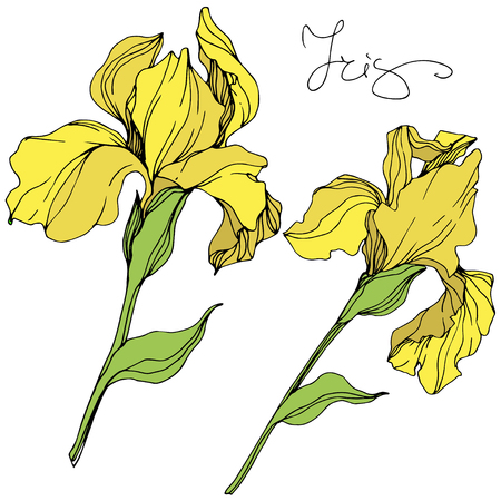 Vector Yellow iris floral botanical flower. Wild spring leaf wildflower isolated. Engraved ink art. Isolated irises illustration element.