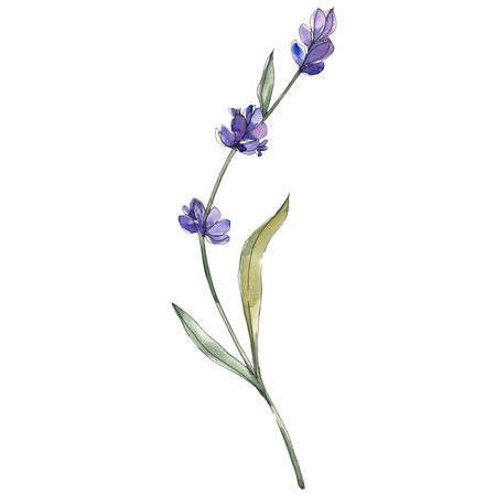 Purple lavender. Floral botanical flower. Wild spring leaf isolated. Watercolor background illustration set. Watercolour drawing fashion aquarelle. Isolated lavender illustration element.