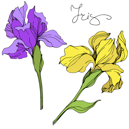 Vector Yellow and purple iris floral botanical flower. Wild spring leaf wildflower isolated. Engraved ink art. Isolated irises illustration element.