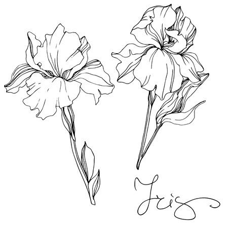 Vector Iris floral botanical flower. Wild spring leaf wildflower isolated. Black and white engraved ink art. Isolated irises illustration element. 向量圖像