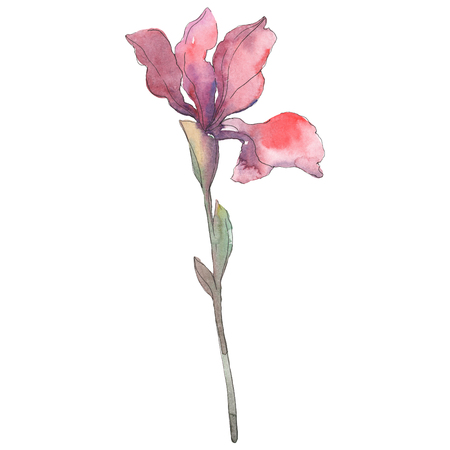 Red iris. Floral botanical flower. Wild spring leaf wildflower isolated. Watercolor background illustration set. Watercolour drawing fashion aquarelle isolated. Isolated iris illustration element.