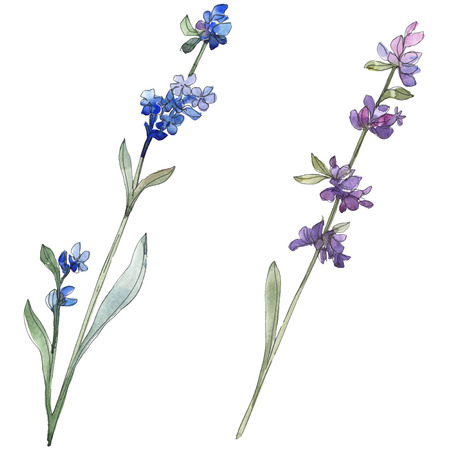 Purple lavender floral botanical flower. Wild spring leaf wildflower isolated. Watercolor background illustration set. Watercolour drawing fashion aquarell. Isolated lavender illustration element. Stock Photo