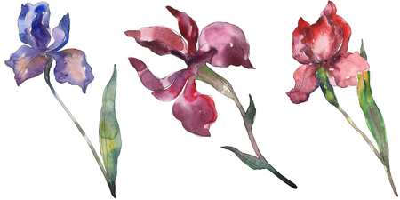Red and purple irises. Floral botanical flower. Wild spring leaf wildflower isolated. Watercolor background illustration set. Watercolour drawing fashion aquarelle. Isolated iris illustration element. Stok Fotoğraf