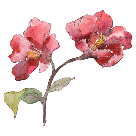 Red camelia floral botanical flower. Wild spring leaf wildflower isolated. Watercolor background illustration set. Watercolour drawing fashion aquarelle. Isolated camelia illustration element. Stok Fotoğraf