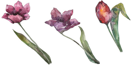 Purple tulip floral botanical flowers. Wild spring leaf wildflower isolated. Watercolor background illustration set. Watercolour drawing fashion aquarelle. Isolated tulip illustration element.