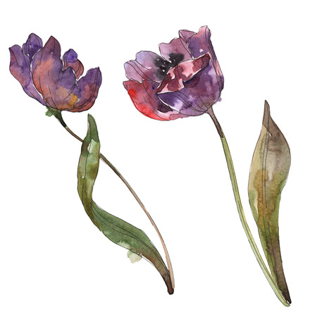 Purple tulip floral botanical flower. Wild spring leaf wildflower isolated. Watercolor background illustration set. Watercolour drawing fashion aquarelle. Isolated tulip illustration element.