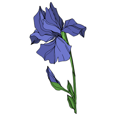 Vector Blue iris floral botanical flower. Wild spring leaf wildflower isolated. Blue and green engraved ink art. Isolated iris illustration element on white background. Imagens