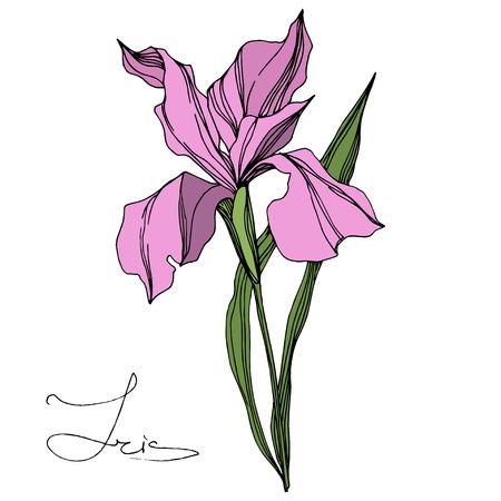Vector Pink Iris floral botanical flower. Wild spring leaf wildflower isolated. Engraved ink art. Isolated iris illustration element on white background. 向量圖像