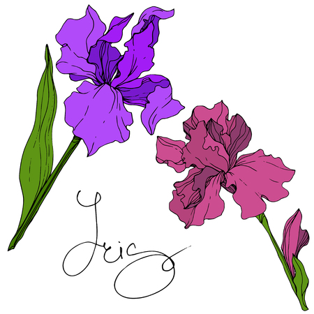 Vector Purple and maroon Iris floral botanical flower. Wild spring leaf wildflower isolated. Engraved ink art. Isolated iris illustration element. Stock fotó - 124784296