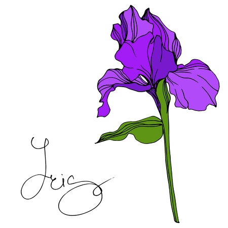 Vector Purple Iris floral botanical flower. Wild spring leaf wildflower isolated. Engraved ink art. Isolated iris illustration element. Vector Illustration