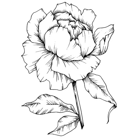Vector Peony floral botanical flower. Wild spring leaf wildflower isolated. Black and white engraved ink art. Isolated peony illustration element. Illustration