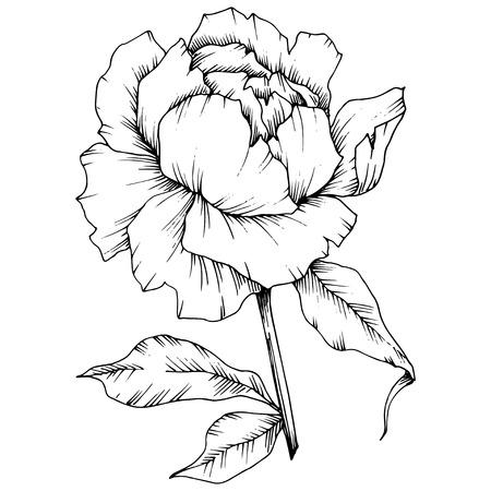Vector Peony floral botanical flower. Wild spring leaf wildflower isolated. Black and white engraved ink art. Isolated peony illustration element. Ilustracja