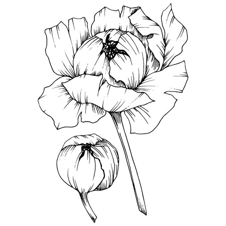 Vector Peony floral botanical flower. Wild spring leaf wildflower isolated. Black and white engraved ink art. Isolated peony illustration element. Stock Illustratie