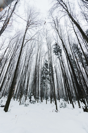 low angle view of tree trunks in snowy winter forest