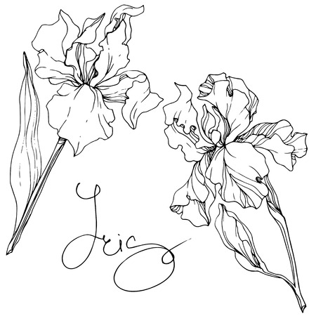Vector Iris floral botanical flower. Wild spring leaf wildflower isolated. Black and white engraved ink art. Isolated iris illustration element. Vetores