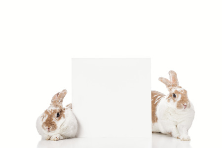 cute easter bunnies with empty card on white