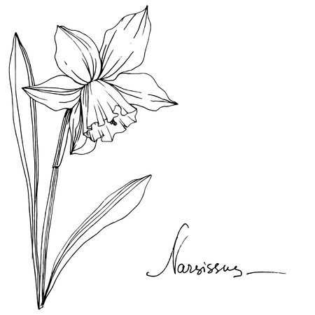 Vector Narcissus floral botanical flower. Wild spring leaf wildflower isolated. Black and white engraved ink art. Isolated narcissus illustration element. Illustration