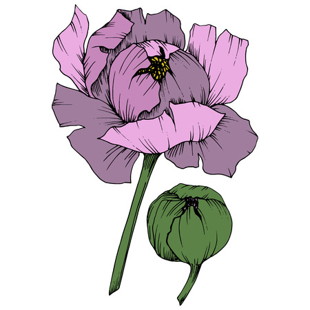 Vector Purple Peony floral botanical flower. Wild spring leaf wildflower isolated. Engraved ink art. Isolated peony illustration element on white background.
