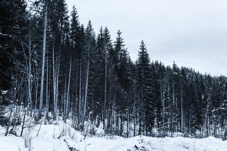 high pines in winter forest covered with snow Stock fotó