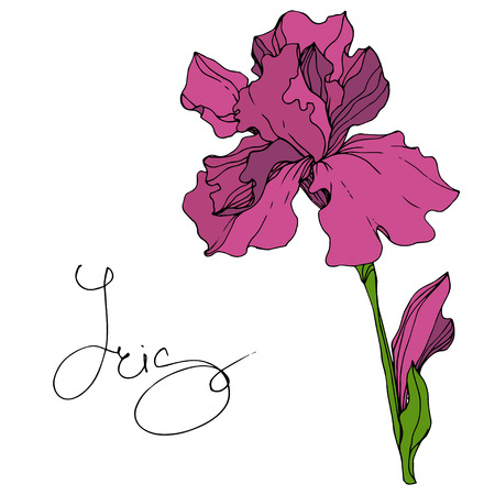 Vector Maroon Iris floral botanical flower. Wild spring leaf wildflower isolated. Engraved ink art. Isolated iris illustration element. 일러스트
