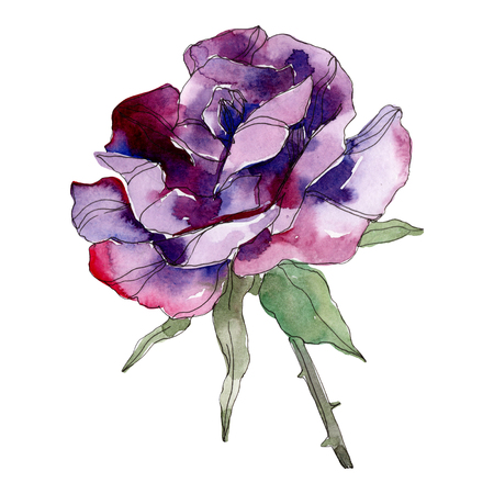 Purple rose floral botanical flower. Wild spring leaf wildflower isolated. Watercolor background illustration set. Watercolour drawing fashion aquarelle. Isolated rose illustration element.