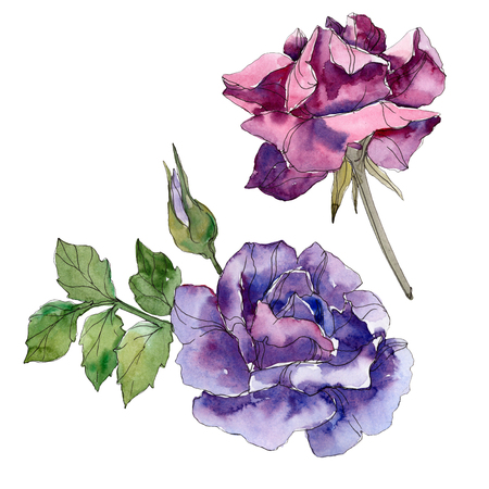 Purple and violet rose floral botanical flowers. Wild spring leaf wildflower isolated. Watercolor background set. Watercolour drawing fashion aquarelle. Isolated rose illustration element.